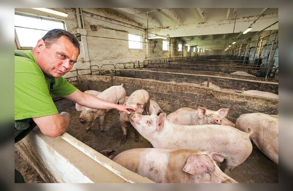 Nälginud, haiged ja sõnnikus loomad... Kas tõepoolest Eesti sigalate argipäev?