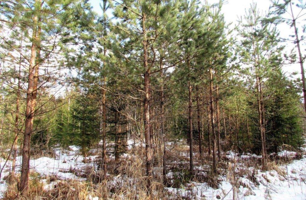 Leili metsalood | Mänd või kuusk