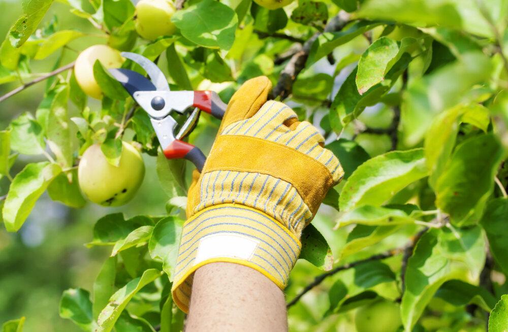 AIATARKUSTE KULLAFOND | Miks tark aednik lõikab õunapuid suvel?