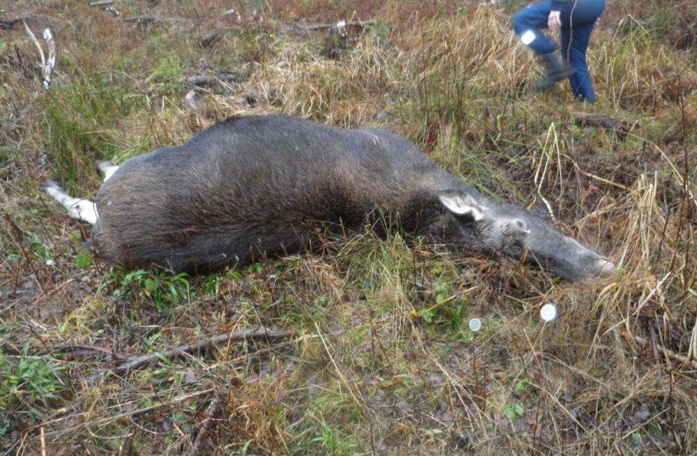 Tiine põdralehm, kelle surmas Peeter Kaarese relvast lastud kuul. Loom kandis sel ajal kaht vasikat. Jahiluba Kaaresel põdra küttimiseks ei olnud.