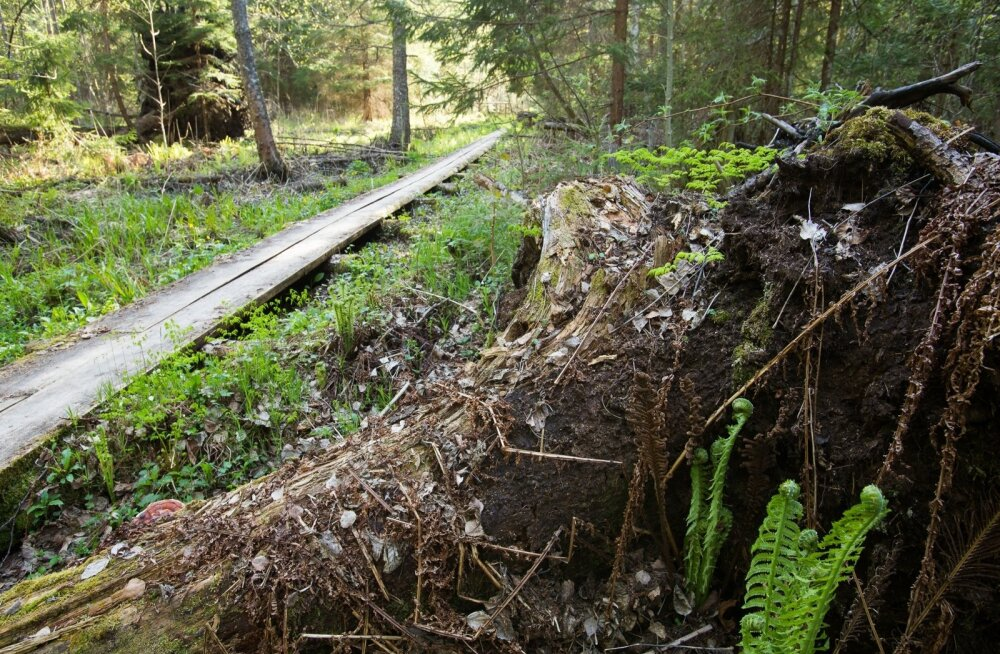 Laudtee kulgeb 300 meetri pikkuselt mööda Järvselja ürgmetsakvartali serva ja pakub võimalust heita pilku vanadusest nõrkenud puudele, tuuleheidetele.