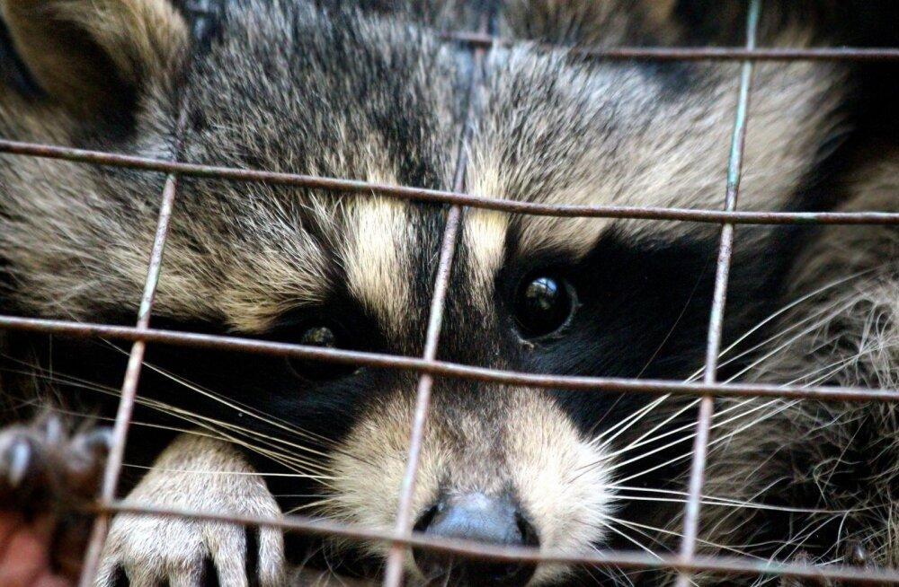 Vat kus lops: loomaaiast põgenenud loomad on talitajatele vägagi meeldejäävaid vimkasid visanud