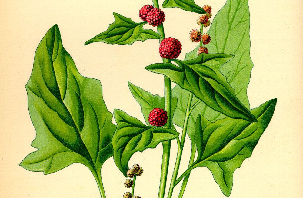 Mida korjata loodusest söögiks, joogiks ja maitseaineks