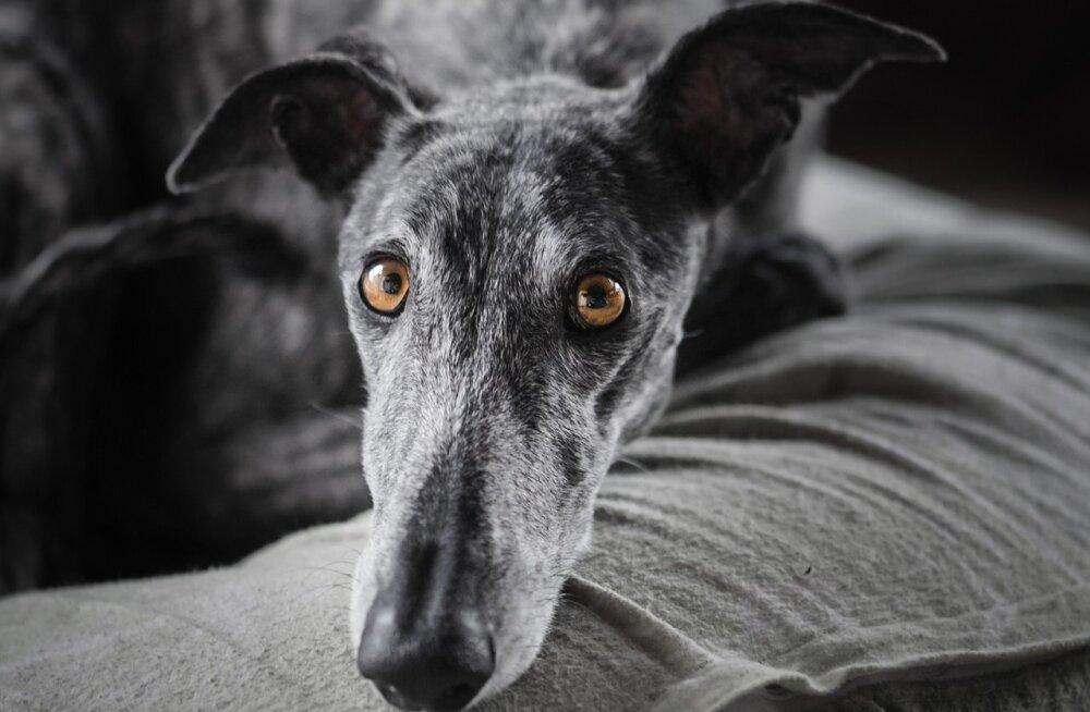 Koera süüdlaslik ilme: kas su koer on sinu peale pahane või mida ta tegelikult vajab?