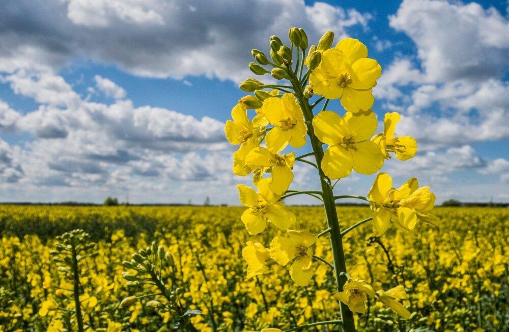 Kumb on kliimasäästlikum, kas teha rapsist õli ja loomasööta või biodiislit?