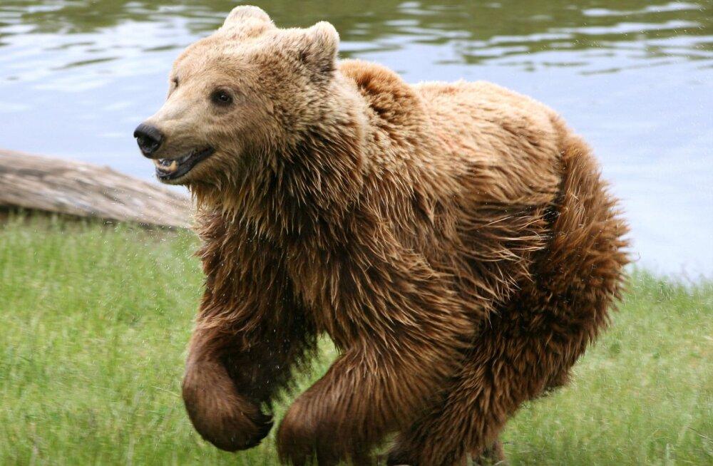 Armas VIDEO | Karumõmmikud käituvad nagu nummikud koerad!
