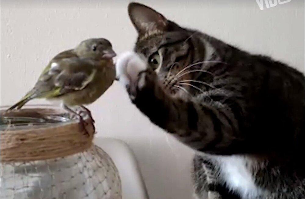 VIDEO | Sõbralik pats või hiiliv rünnak? See kass läheneb linnule eriti naljakal viisil