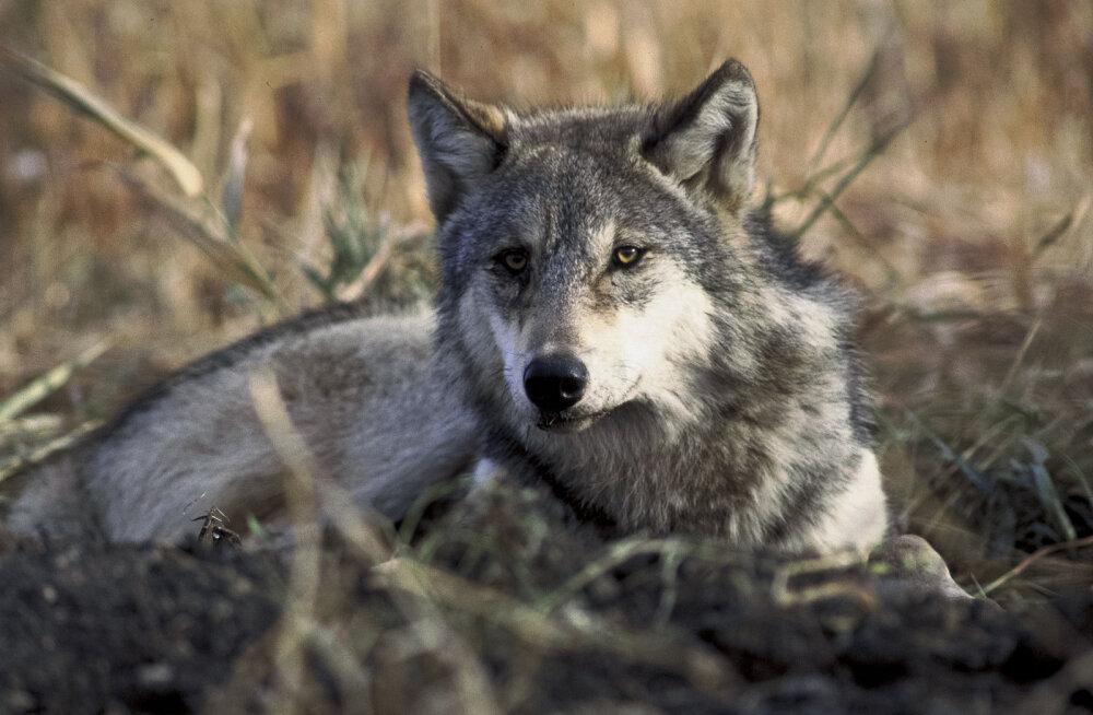 Kuigi omal ajal arvati, et koer on pärit mitmest metsikust koerlase liigist ja kaasajal on koerte aretuses kasutatud ka teisi koerlasi, näiteks šaakalit (Canis aureus), näitavad teaduslikud andmed, et ennemuiste oli hunt koera eellaseks.