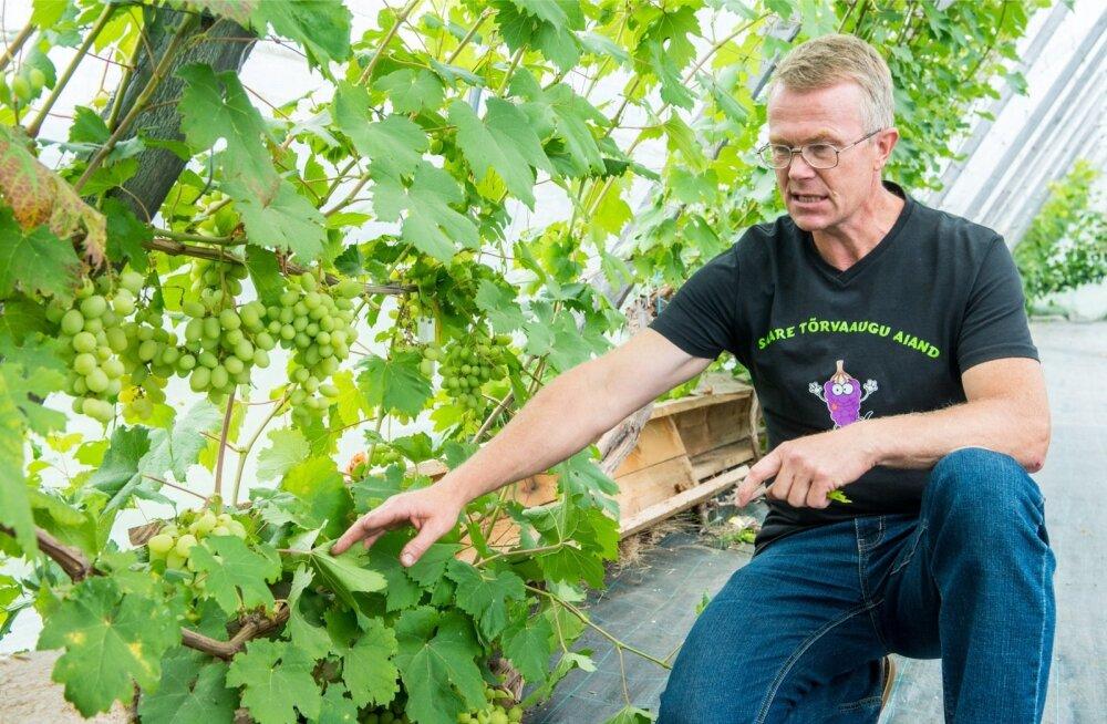 """""""Otsime äriaeda sobivaid lauaviinamarja sorte,"""" selgitab Harri Poom, kes juba mitmendat aastat katsetab viinamarjaistikute sobivust meie tingimustes."""
