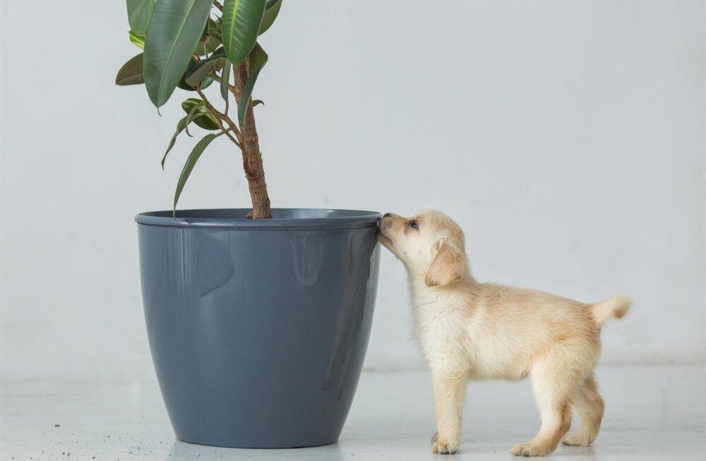 Pane tähele: mitmed teada-tuntud toataimed on lemmikloomadele tegelikult ohtlikud