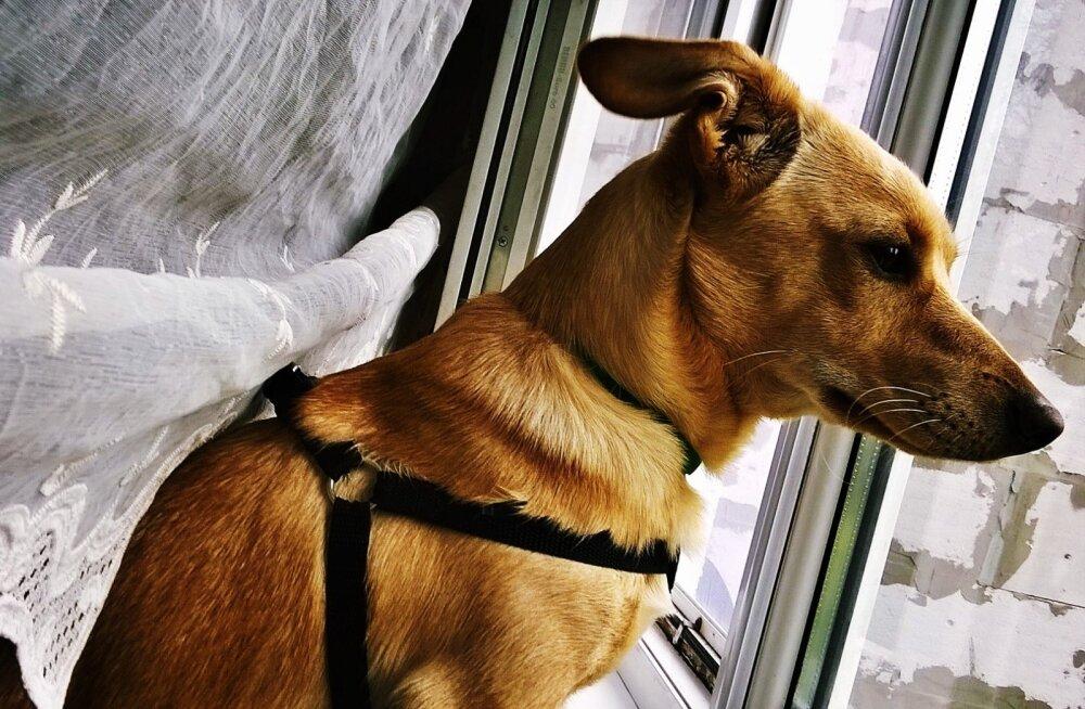 Äikesekartus: kuidas aidata ja õpetada koera, kes kardab äikest?