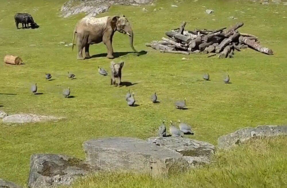 VIDEO | Kohmakas elevandibeebi satub linde taga ajades nii hoogu, et kaotab üks hetk lausa jalad alt