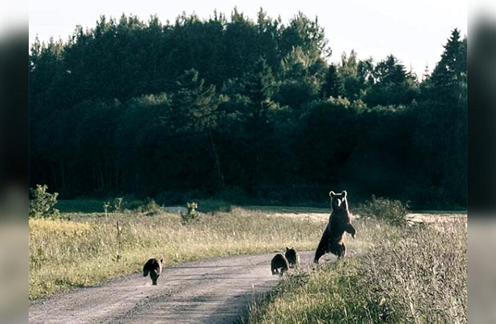 PÄEVAPILT: Neljaliikmelise karupere igapäevaelu Järvamaal