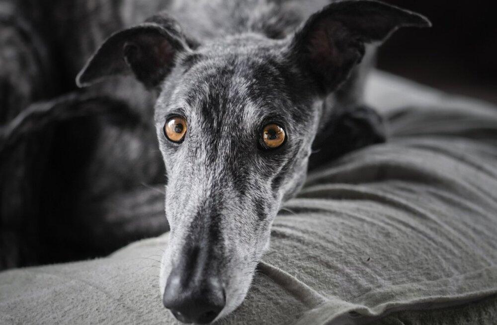 Õnnelik lõpp: hüljatud koer leiti nälginuna kaks aastat pärast seda, kui ta omaniku arvates surnud oli