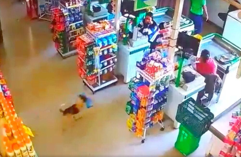 VIDEO | Milline armas varganägu! Kaupluse turvakaamera pildile jäi päris ootamatu pikanäpumees