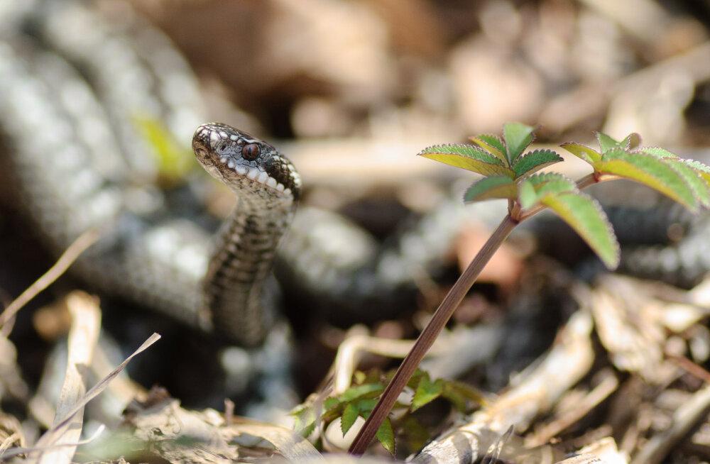 Loodusega silmitsi   Nõrganärvilistel mitte vaadata! Fotograafile poseerivad maod