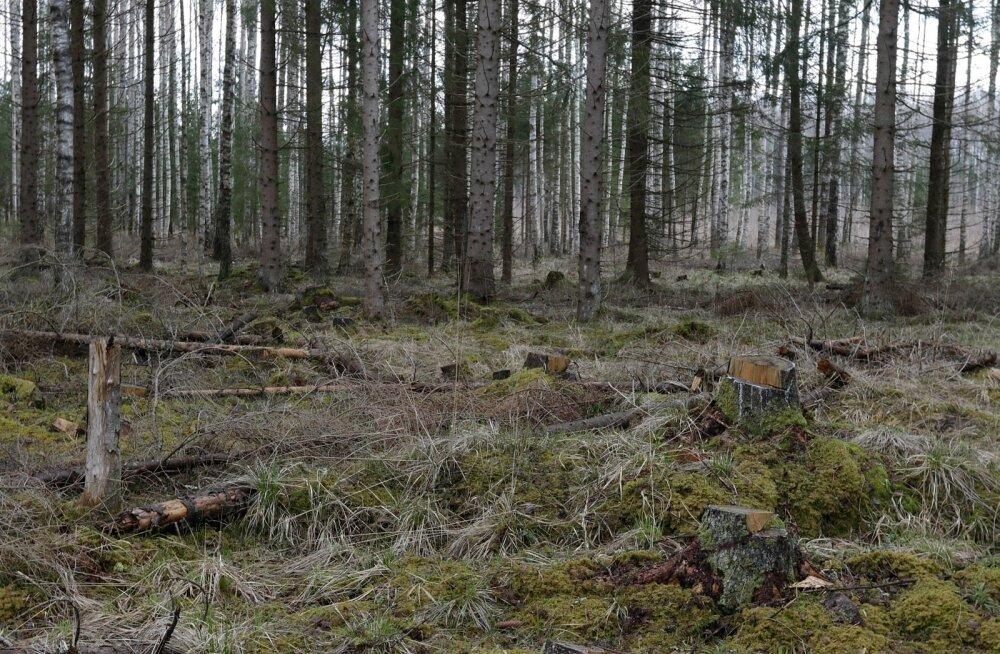 Mihkel Haud ja ulukikahjustused tema metsas Raplamaal