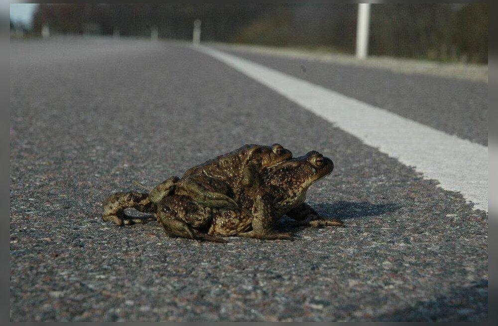 Eestimaa Looduse Fond kutsub konni üle tee aitama