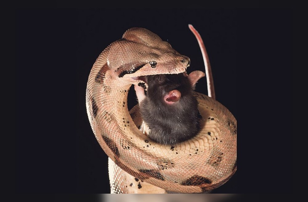 Mida toob maoaasta idamaade loomaringile?