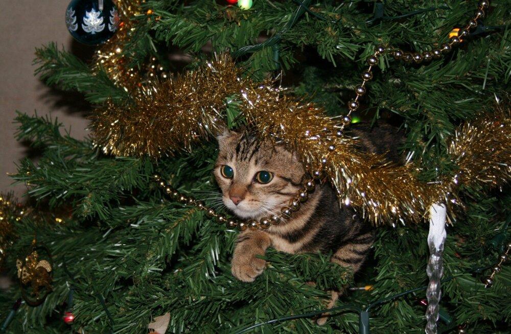 Kassid vs jõulupuud: 6 nippi, et mõlemad jääksid terveks