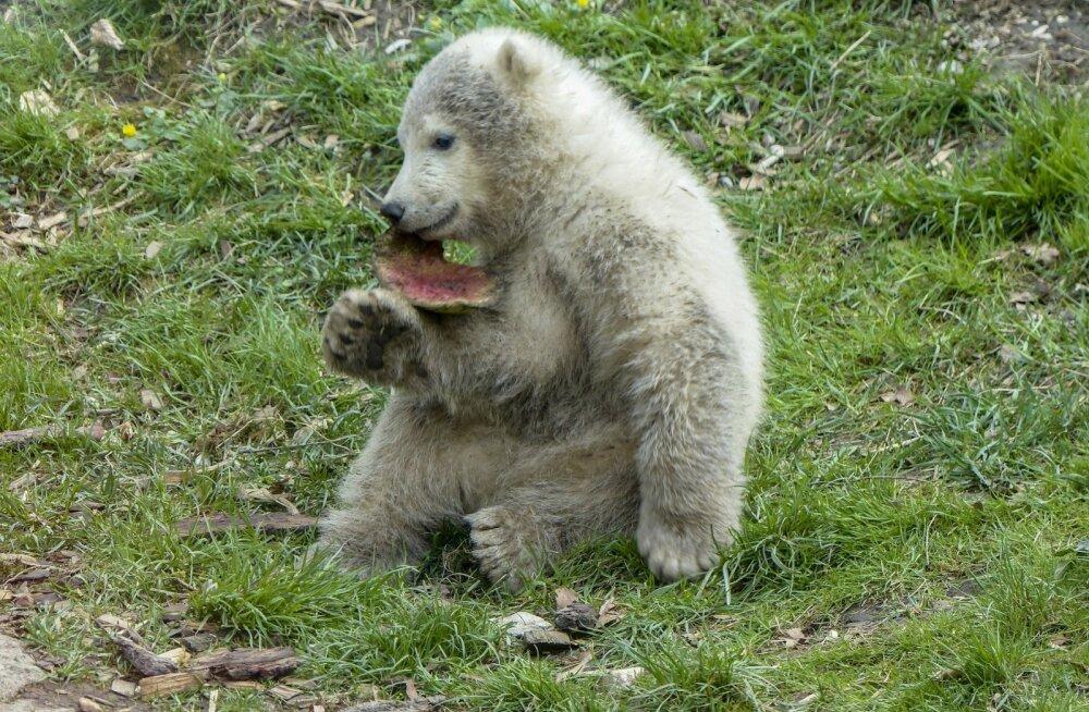 VIDEO   Inglismaal sündis eriline ja kauaoodatud jääkarupoeg