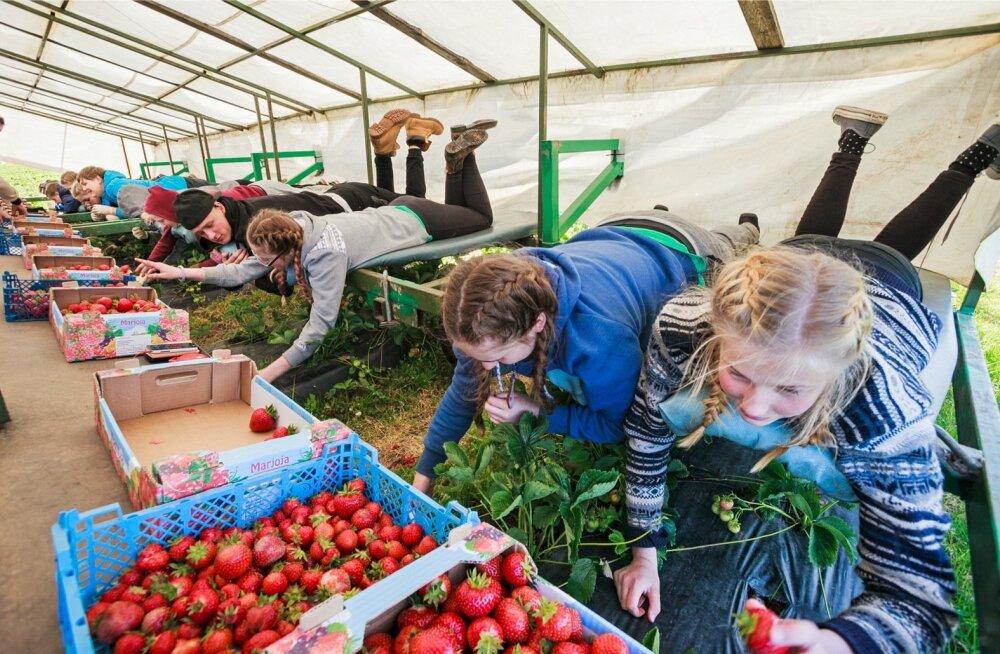 Malevlaste üks levinumaid töid on nn maasikakombaini peal marjade korjamine.