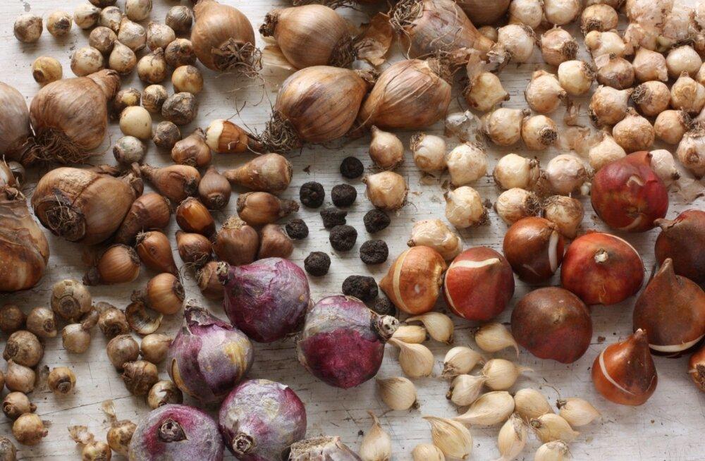Istutage võrkiiriseid, puškiiniaid, kobarhüatsinte, sillasid, tulpe, nartsisse, õrnu ülaseid, idahüatsinte jmt ning värve jätkub varakevadest jaanipäevani.