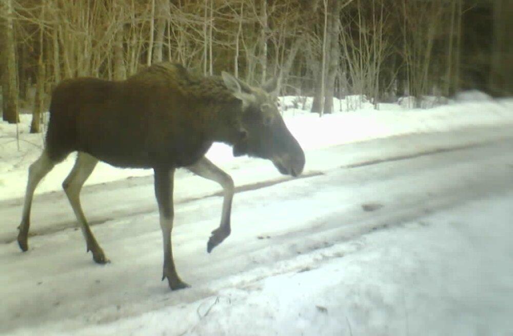 FOTOD | Eesti kagupiiri ületuselt on tabatud karu, ilves ja hulk teisi loomi
