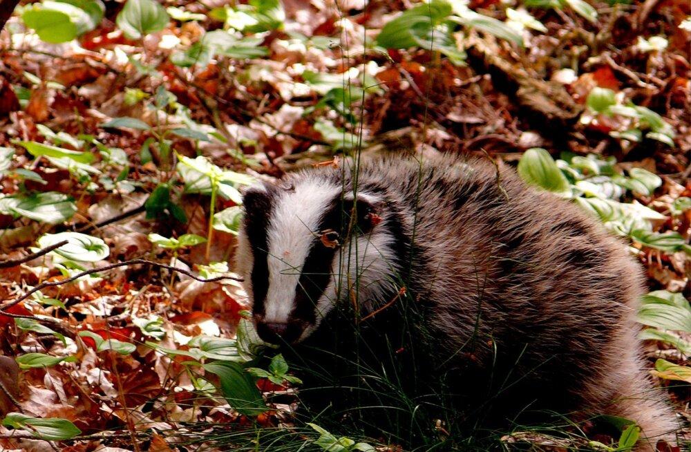 Saku elanik leidis oma aiast sügavas unes oleva mägrahärra