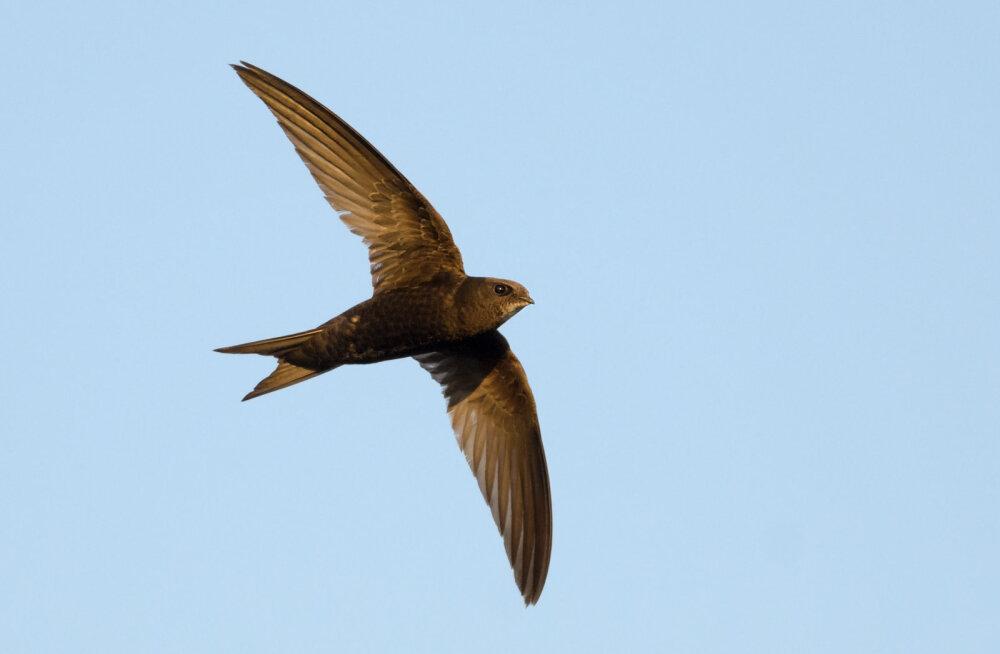 HÄMMASTAV: Lind, kes suudab õhus püsida lausa 10 kuud järjest