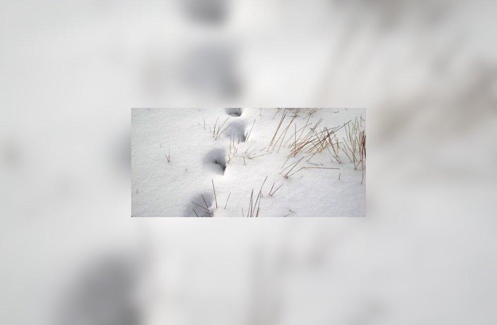 a69cf1b2913 W3 uudised - FOTOD: jäljejaht talvises rabas (Maaleht)