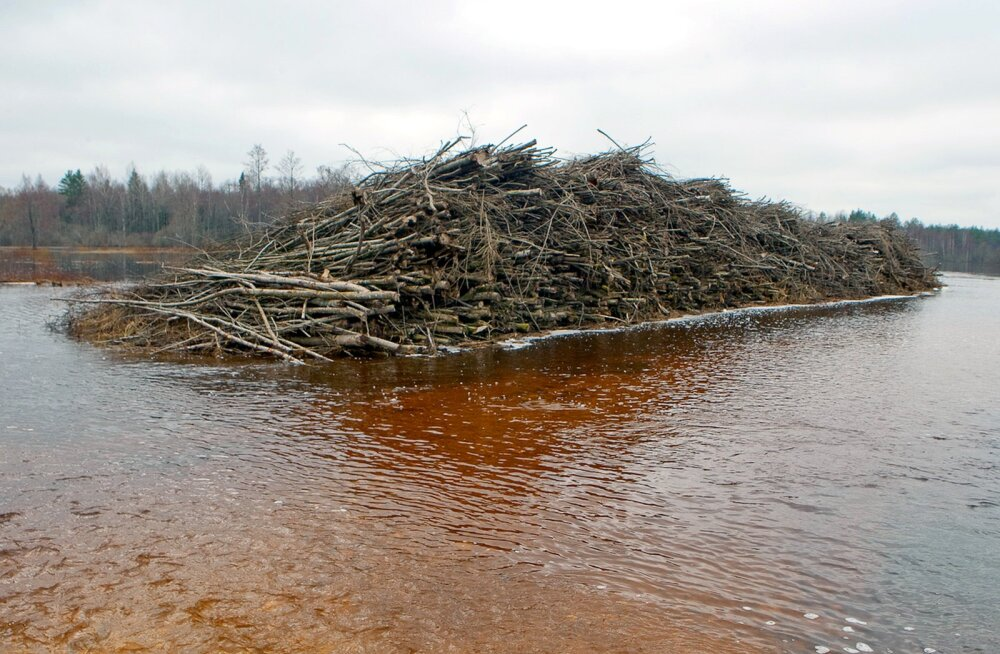 Metsamees: raierahu ajal ei tohiks purustada ka lindude pesitsuspaigana kasutatavaid hakkevirnasid