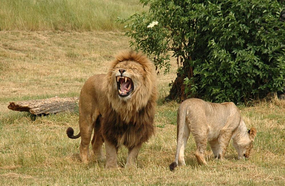 Eksootiline VIDEO | Võimas ja hirmutav vaatepilt, kuidas lõvid omavahel madistavad!
