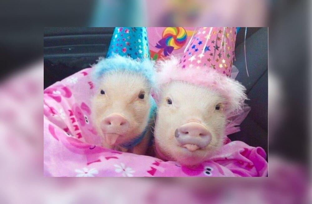 ФОТО и ВИДЕО: Мини-пиги покажут как жить полной жизнью!