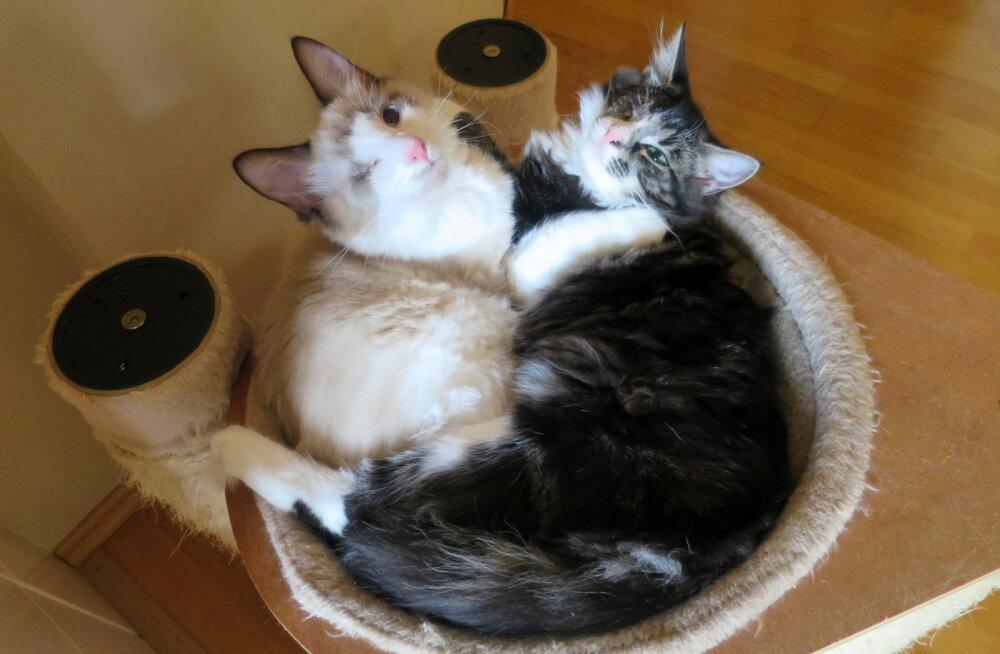 GALERII   Simmo ja Sia on erilised, ühesilmsed ja lahutamatud ühist kodu otsivad kassipojad