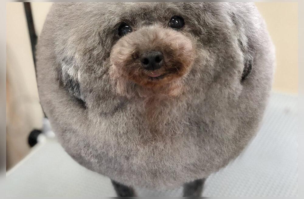 Uus soengumood: koerad, kes näevad välja nagu lambad