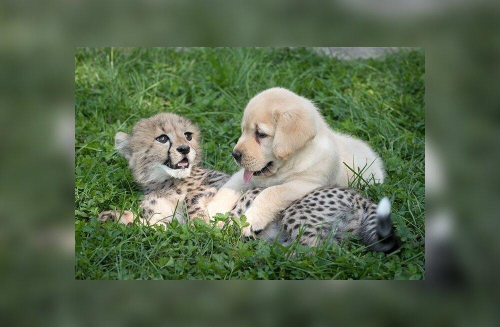 Paaritumiseks liiga häbelikud gepardid saavad loomaaedades tugikoera