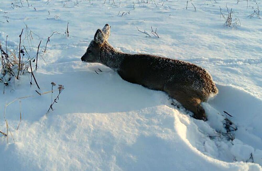 Südametu autojuht rammis kitsekest ja jättis lahtiste luumurdudega ohvri lumme surema