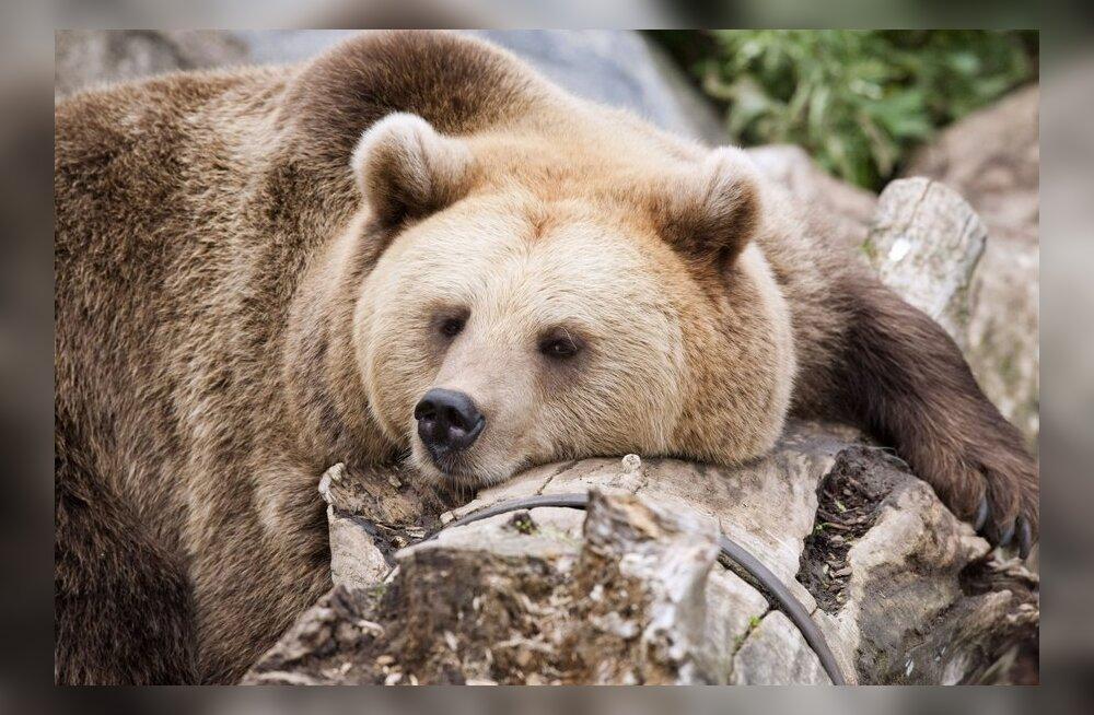 Karu peitub suremiseks koopasse