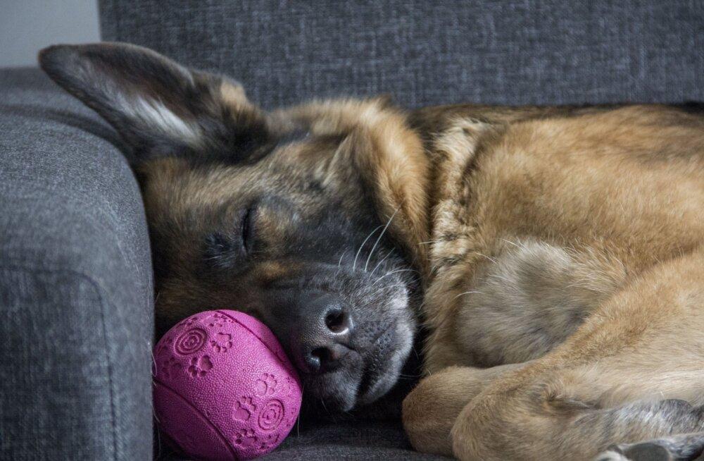 Tõmblen, käin ringiratast ja keeran end kerra: mida näitavad koerte kummalised magamisharjumused