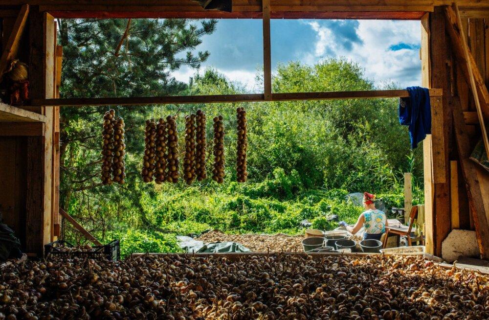 PEIPSI SIBUL OOTAB | Peipsiääre vallas on ostjate ootel enam kui üheksa tonni sibulat