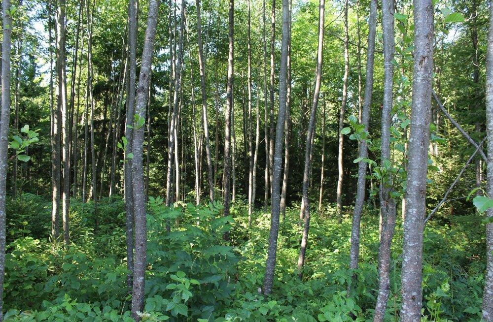 Tänasest saab küsida toetust noore metsa hooldamiseks ja kahjustatud metsa taastamiseks