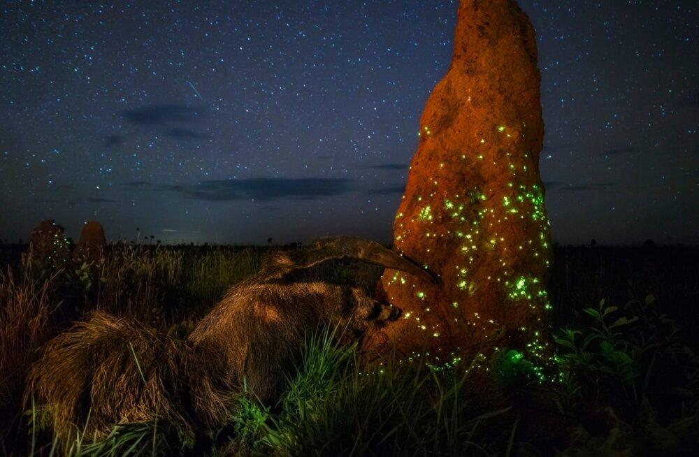 Suure loodusfotode konkursi võitja jäi tiitlist ilma, kuna pildi peategelane osutus topiseks