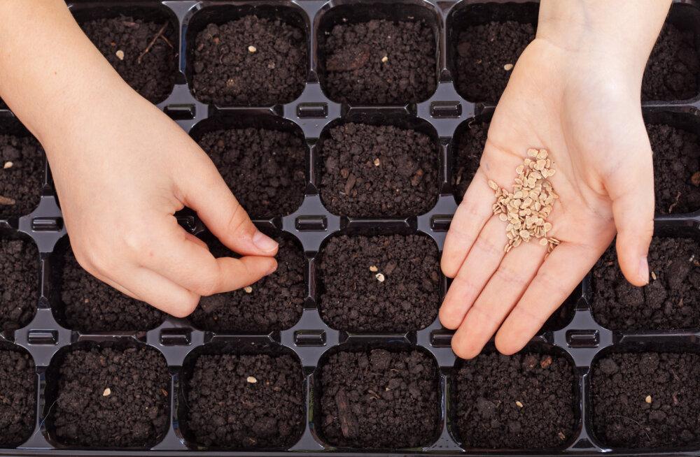 Jälgides neid tegureid võid olla kindel, et seemned saavad õigesse külvimulda