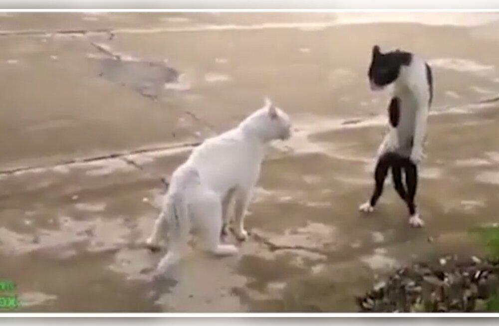 VIDEO | Pisarad silmil! Need on vaieldamatult parimad klipid kassidest, kes igal sammul oma reaktsioonidega meid üllatamast ei väsi!