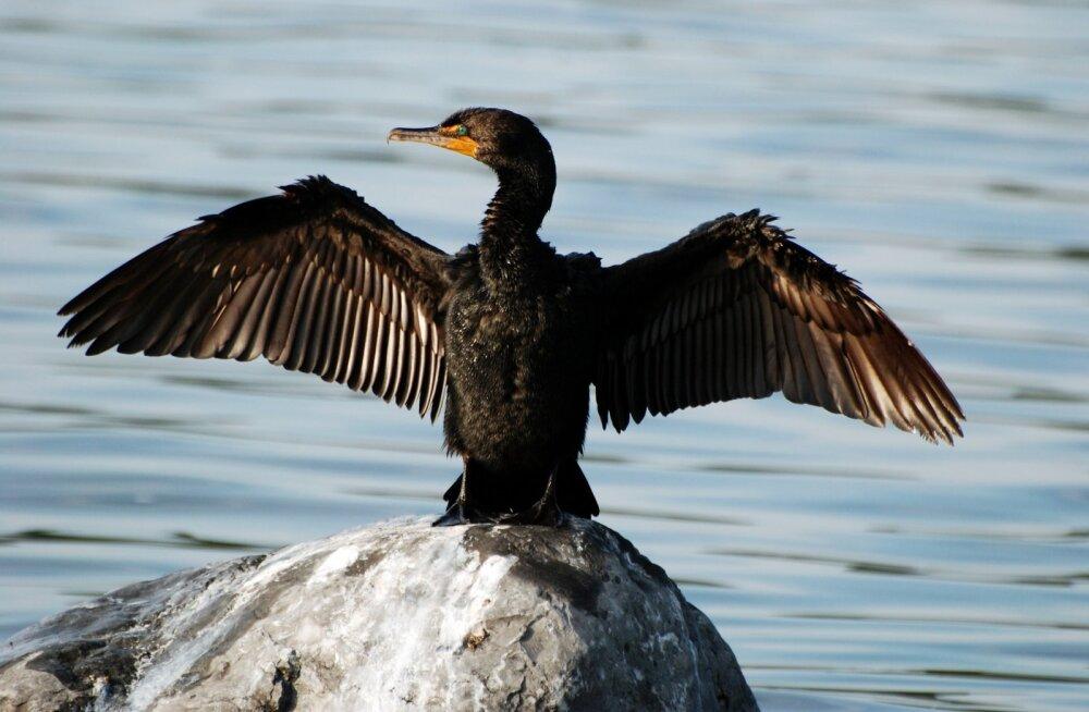 Hajus talvitusala teeb kormoranide ohjamise keeruliseks