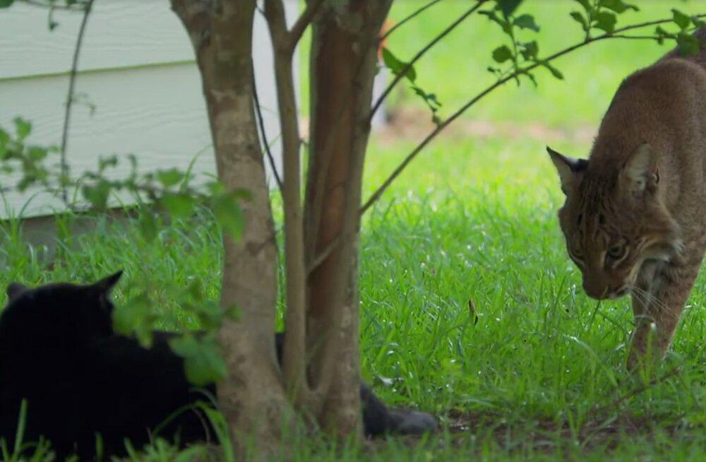 Hämmastav VIDEO | Vaata, kuidas kartmatud kassid hiiglaslikele kiskjatele vapralt vastu on astunud