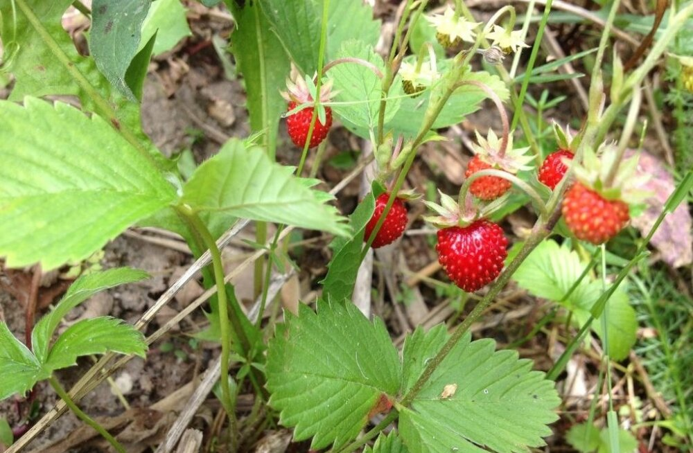 Metsmaasikad