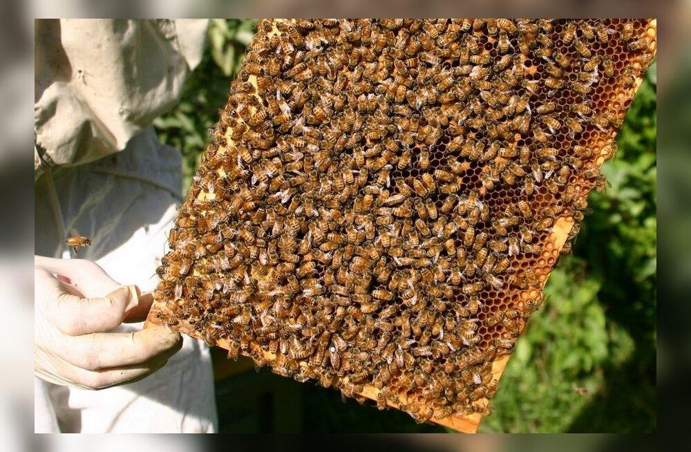 Külm talv tappis Saaremaal mesilasi tavalisest rohkem