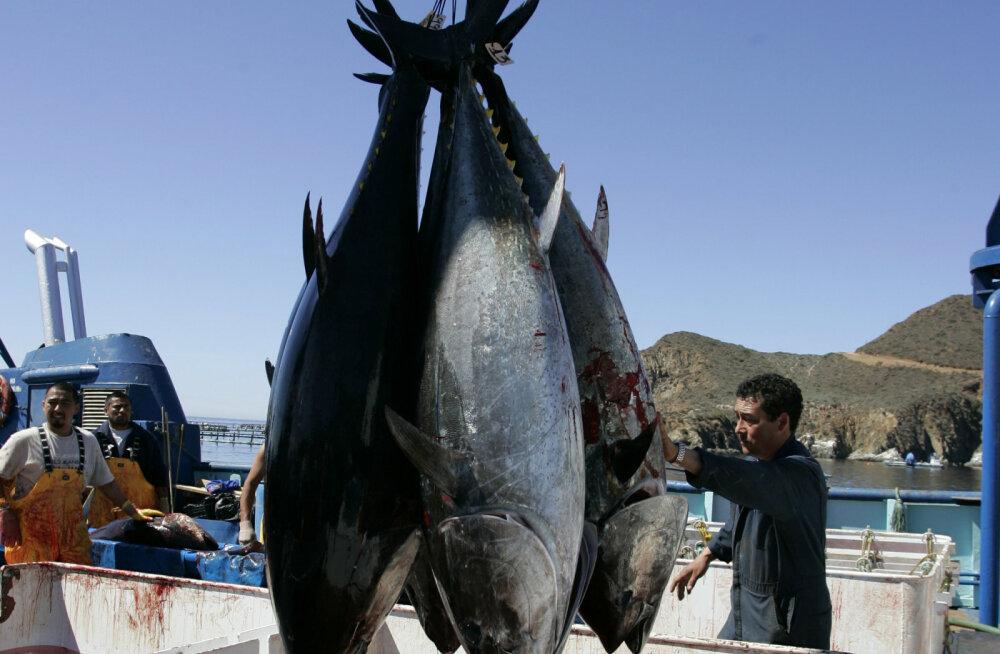 Paraku on see kala väljasuremisohus.